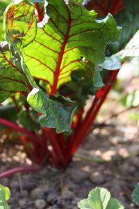 Immer schön der Reihe nach – Fruchtfolge im Gemüsegarten