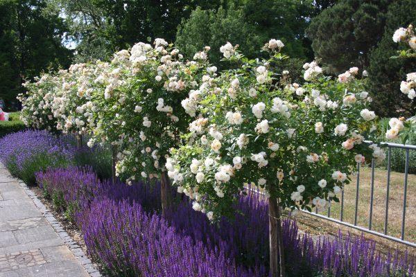 Kombi Rosen Gartensalbei Lavendel
